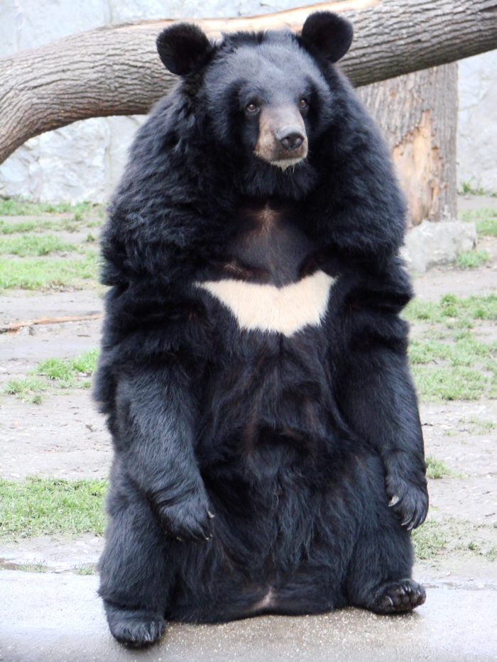 iknowbro.com | asian black bear
