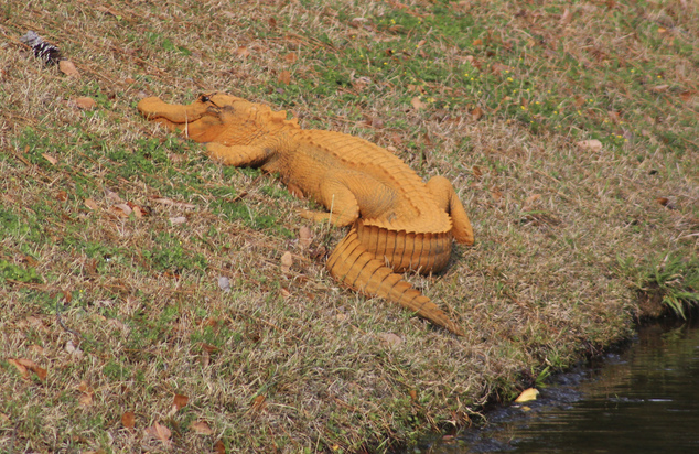 Orange Alligator